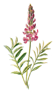 flower-image-wildflower-sainfoin-png
